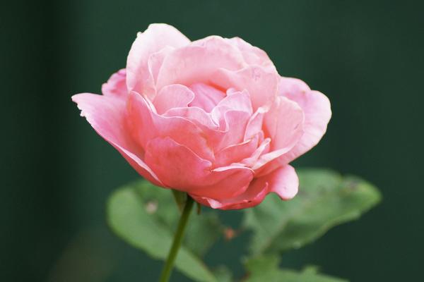 dzika-roza