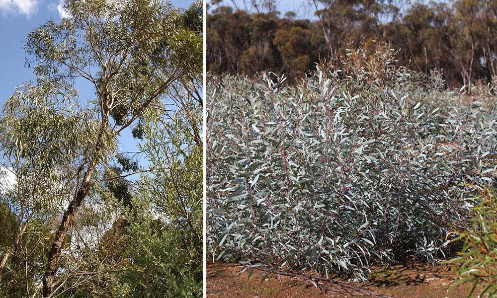 eukaliptusowy6